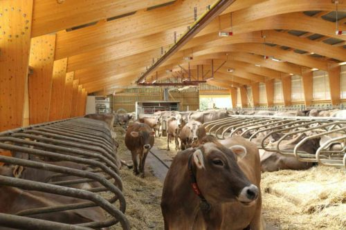 vaches laitières logettes paillées