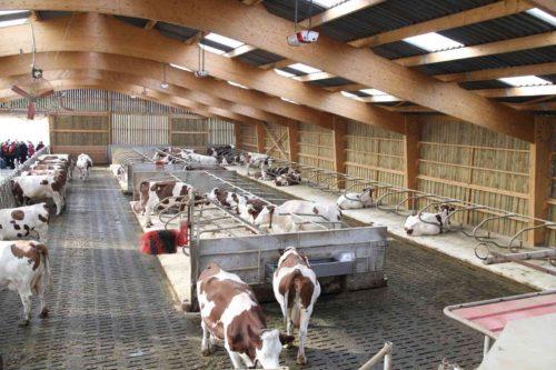 vaches laitières montbéliardes